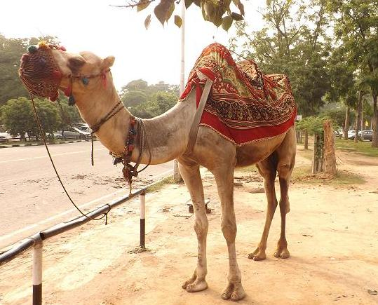 camel-ride-sukhna-lake