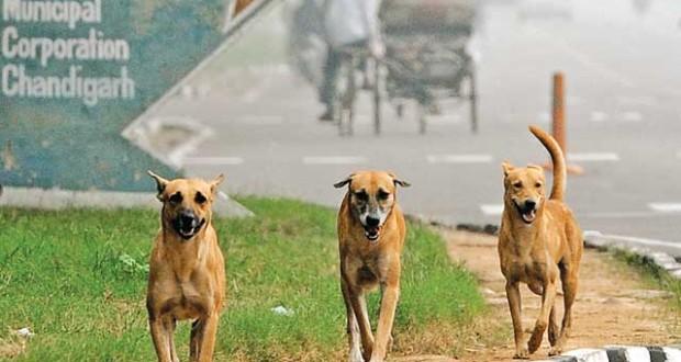 Stray-Dogs-in-chandigarh