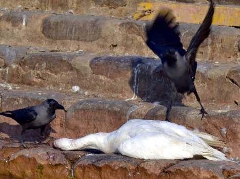 sukhna-lake-bird-flu-in0chandigarh