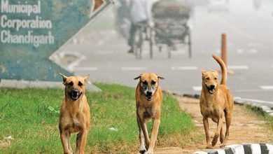 Stray-Dogs-in-chandigarh