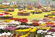Chrysanthemum-flower-show-terraced-garden-Chandigarh-2015