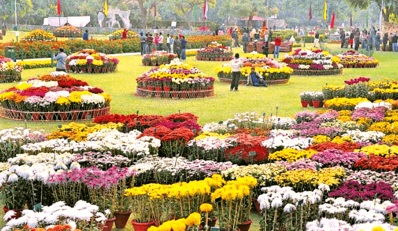 Chrysanthemum-flower-show-terraced-garden-Chandigarh-2015