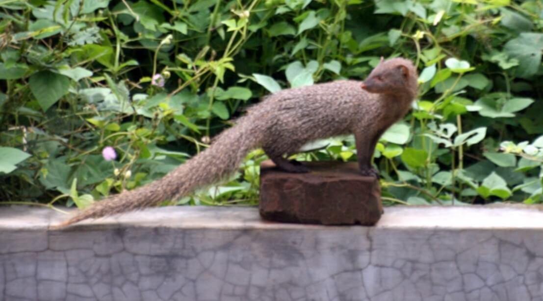 chandigarh-state-animal-mongoose