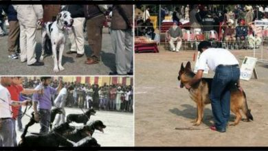 dog-show-Chandigarh