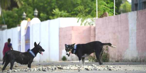 stray-dogs-reflective-collar