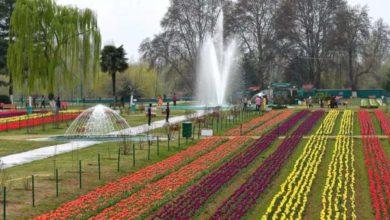 srinagar-tulip-garden
