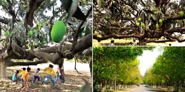 mango-tree-chd