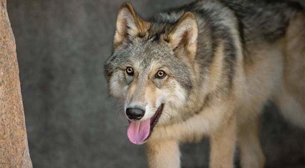 Wolf-chattbir-zoo-chandigarh